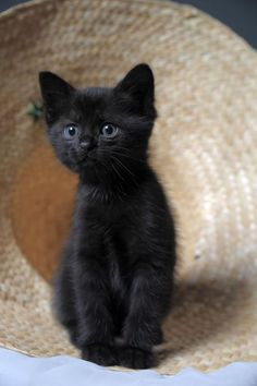 What an adorable black kitten Pretty Cats, Beautiful Cats, Animals Beautiful, Kittens And Puppies, Cats And Kittens, Black Kittens, Cute Cat Gif, Cute Cats, Funny Cats