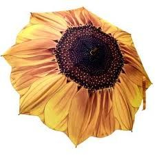 A stunning sunflower design emblazoned across this high quality ladies umbrella. This sunflower umbrella is auto open with wooden handle & fibreglass ribs. Ladies Umbrella, Umbrella Art, Folding Umbrella, Under My Umbrella, Umbrella Painting, Umbrella Wedding, Umbrellas Parasols, Yellow And Brown, Unique Vintage