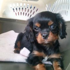 King Charles Cavalier Spaniel- I need another one I'll name him cooper or charlie. so adorable.