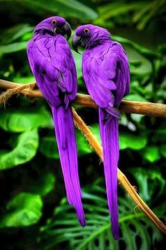 Colorful birds - A pair of purple Macaw parrots.