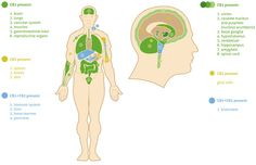 The Endocannabinoid System | Fundación CANNA: laboratorio de pruebas de cannabis