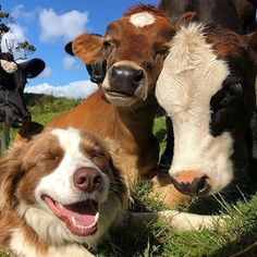 animals tomorrow is monday and that sucks yes but look at these cute cows and doggo they make me happy Cute Baby Cow, Baby Cows, Cute Cows, Fluffy Cows, Fluffy Animals, Animals And Pets, Cute Creatures, Beautiful Creatures, Bb Chat