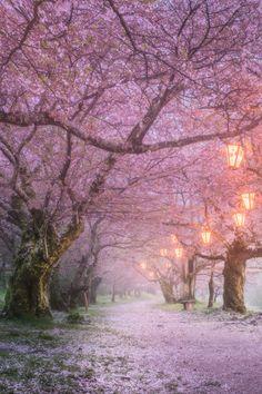 """tulipnight: """"Sakura by Daniel Kordan """""""