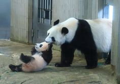 Pandas are such balls of everything adorable. It's like nothing ever fazes them. Not even mom calling for them to come in.