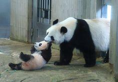 上野動物園:初めまして シャンシャン一般公開 - 毎日新聞