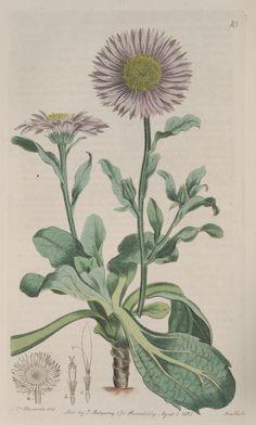 v. 1 (1815) - The Botanical register - Biodiversity Heritage Library