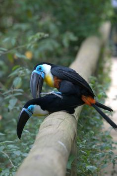 """Channel-billed Toucan - """" . . . they neither sow nor reap nor gather into barns; yet your heavenly Father feeds them. Are you not of more value than they?"""""""