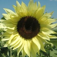 Sunflower Buttercream- grew this last year and liked it, great cut flower neat habit