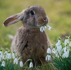 bunny eating snowdrops