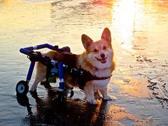 Read about the life of Cleo the Corgi, from her point of view...