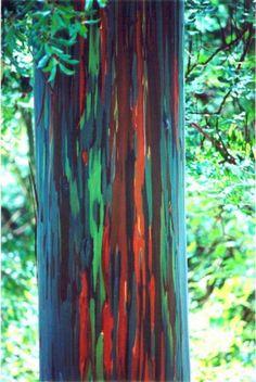 Nativo del sur de las Islas Filipinas , Indonesia y Nueva Guinea , el árbol arcoiris es una de las dos únicas especies de eucalipto no origi...