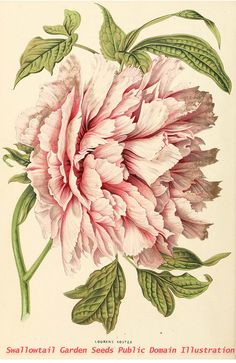 Flowers peonies drawing botanical illustration 48 Ideas for 2019 Art Floral, Motif Floral, Peony Illustration, Illustration Botanique, Floral Illustrations, Pattern Illustration, Vintage Botanical Prints, Botanical Drawings, Vintage Botanical Illustration