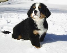 The Bernese Mountain Puppy