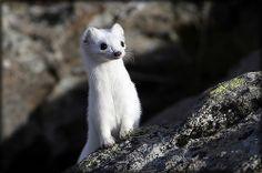 FENESTRELLE - Ermellino (hermine) Val Chisone #nature #animaux #lol #peluche - Parco Orsiera Rocciavrè #Torino #Pinerolo #Sestriere #Alpes #pets #cat #tiny #kawai #lol #gif #castor #belette #mouse