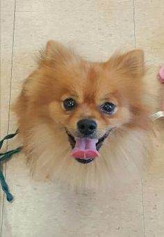 Meet Reeses, an adoptable Pomeranian looking for a forever home. If you're looking for a new pet to adopt or want information on how to get involved with adoptable pets, Petfinder.com is a great resource.