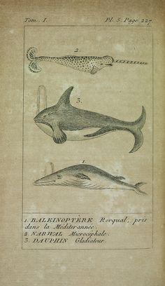 scientificillustration:    Histoire naturelle des cétacées. Tom. 1.by BioDivLibrary on Flickr.  Paris :Didot,1809.biodiversitylibrary.org/page/34591071