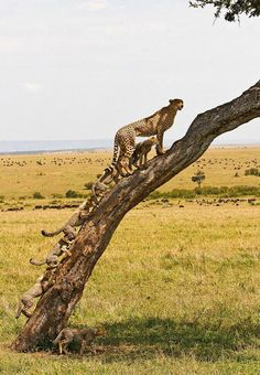Momma cheetah with baby cubs