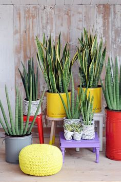 La Sanseviera es una planta robusta que genera confianza. La Sansevieria , planta del mes de julio por la Oficina Holandesa de Plantas, se h...