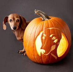doxie pumpkin