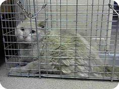 Pasadena, CA - Siamese. Meet A378250, a cat for adoption. http://www.adoptapet.com/pet/13022703-pasadena-california-cat