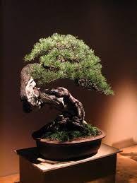 japanese bonsai - Google Search