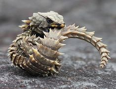 This is the armadillo girdled lizard of South Africa. When frightened, it will bite its tail to form a spiny ball, much like the mammalian armadillo. This anti-predatory behavior protects the lizard's. Les Reptiles, Reptiles And Amphibians, Mammals, Beautiful Creatures, Animals Beautiful, Unusual Animals, Armadillo Lizard, Animals And Pets, Cute Animals