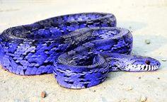 Blue Corn Snake