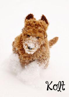 Kolt 10 week old standard poodle red in the snow sugarnspicestandards.com