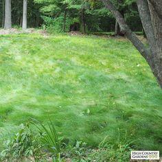 No Mow Grass Unmowed