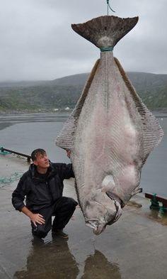 Um pescador alemão quebrou o recorde mundial ao capturar um alabote gigante. Usando apenas linha e vara de pescar, ele capturou o peixe de mais de 234 kg. O pescador, Marco Liebenow, chegou a pensar que a linha tinha enganchado em um tipo de submarino