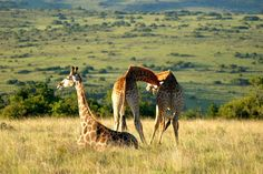 Lalibela Game Reserve and Safari Lodge, Addo Elephant Park, Eastern Cape, South… Game Reserve South Africa, Elephant Park, Tree Tops, Giraffe, Safari, Boutique Hotels, Cape, African, Animals