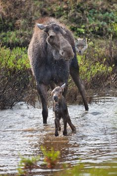 Moose Mother & Calf, photography: Patrick J Endres