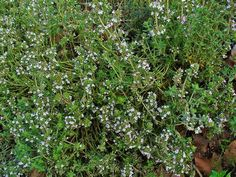 thymus vulgaris - - Yahoo Image Search Results