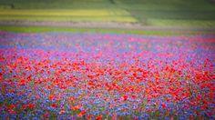 La fioritura delle lenticchie #fioritura #lenticchie #castelluccio #norcia #fotografia #umbria
