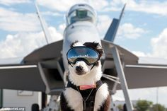 Donning a ski mask to protect his eyes from the wind and boots to shield his paws from theheat of the tarmac, the big-hearted worker has become a star, both on the runway and online.