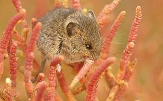 Endangered Species, Harvest Mouse