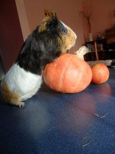 My Guinea Pig- Trick
