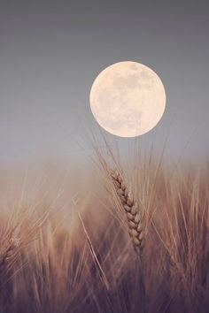 moon   cornfield