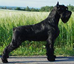 My next dog: Giant #Schnauzer