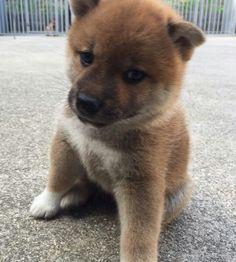 柴犬・Japanese Shiba Inu puppy〃