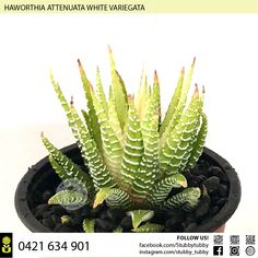 Quality succulents, cacti and houseplants for sale - Adelaide, SA, Australia Succulents For Sale, Houseplants, Cactus Plants, Roots, Pup, Pictures, Photos, Indoor House Plants, Cacti