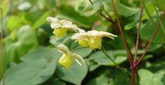 Epimedium versicolor (x) 'Sulphureum' op vasteplant.be halfschaduw/ 25cm/4-5/bladhoudend