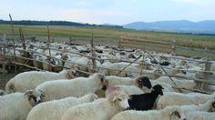Punct autorizat pentru sacrificarea mieilor la Agro Transilvania Goats, Animals, Animales, Animaux, Animais, Goat, Animal