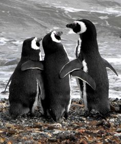 ✮ Buddies, penguins not Emperor (which 95% of all pictures of penguins are) - ps. I just threw out that number - don't quote me on it!