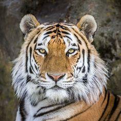 Siberian Tiger | Also known as Amur Tiger, Panthera tigris