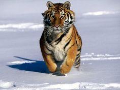 Tiger Information For Kids | Interesting Information about Tigers For Kids