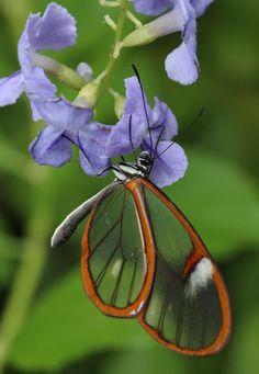 """""""Glass wing butterfly macro """""""