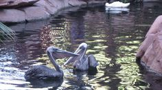 Two rescued brown pelicans have found a home on the Las Vegas Strip at the Wildlife Habitat of the Flamingo casino.