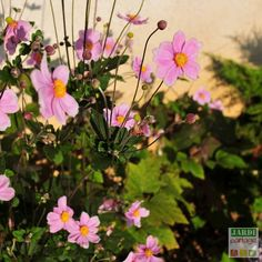 Anemone Du Japon, Permaculture, Comment Planter, Garden Plants, Rose, Bouquets, Nature, Blog, Gardens