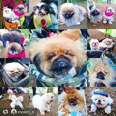 まだまだ続くよペキ会Photo🐶🐾 #こたつ #愛犬 #ペキスタグラム #ペキニーズ #はなぺちゃ #ブサカワ #犬バカ部 #犬 #pekingese #pekistagram #dog #mydog #instadog #dogstagram #pet #sweet #love #cute #angel #Japan #Japanese #tokyo #family #instafollow #today #now 💖💖💖 #repost @moem_n via @PhotoAroundApp  ペキピクニックで撮れた天使たち🐶 アメブロ投稿できません💨 ブログに載せたい写真がたくさんあるのに~! #ペキまみれ #天国 #まだまだいたペキちゃん
